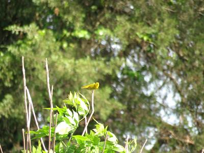 Yellow Warbler, June 8, 2019