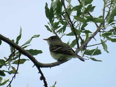 Willow Flycatcher, June 8, 2019