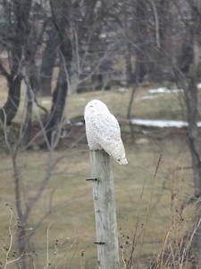 Snowy Owl  near Fleetwood, PA, January 21, 2018