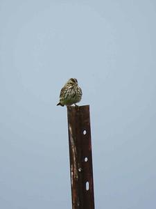 Savannah Sparrow, Rodale Experimental Farm, Maxatawny Township, June 10, 2018