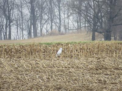 owl decoy in a farm field, near Fleetwood, PA, January 21, 2018