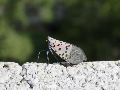Spotted Lanternfly, at the top of the William Penn Memorial Firetower, September 16, 2017