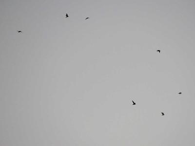 Chimney Swifts at dusk, Reading, PA, September 4, 2018
