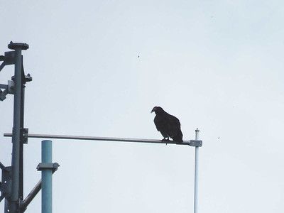 a young Turkey Vulture perched on an antenna tower, seen from the top of the William Penn Memorial Firetower, September 16, 2017