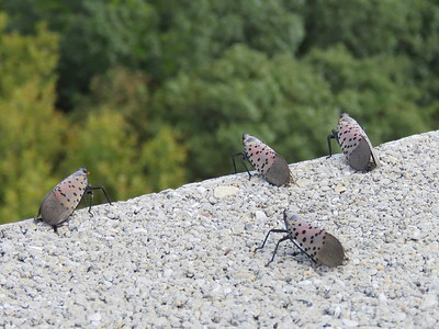 Spotted Lanternflies, at the top of the William Penn Memorial Firetower, September 16, 2017