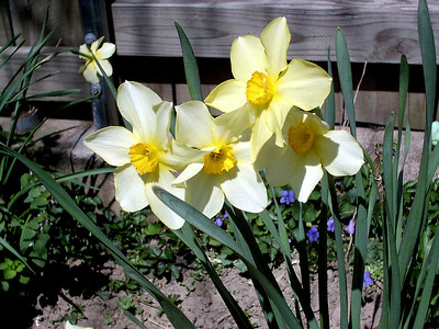 daffodils, April 17, 2005