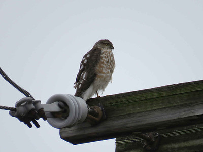 Sharp-shinned Hawk, February 1, 2018