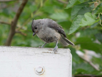 wet Tufted Titmouse,  June 27, 2008
