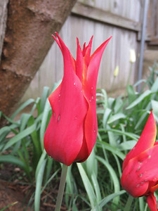 Red tulips about to open, April 27, 2018