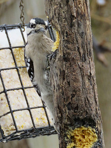female Downy Woodpecker, February 4, 2018