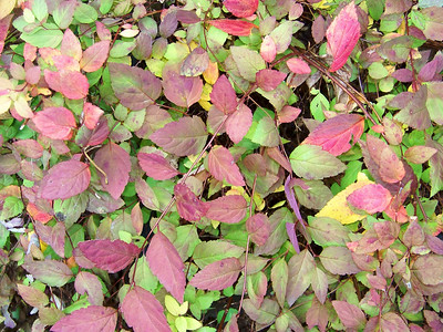 leaves of one of my spirea bushes, November 9, 2008