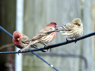 House Finches, April 11, 2018