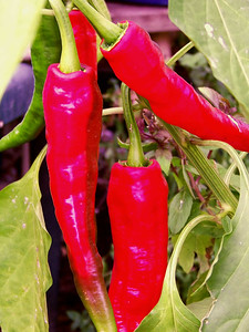 long hot peppers, October 14, 2008