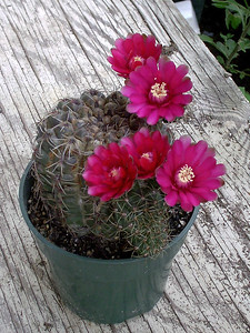 cactus in bloom,  August 30, 2005