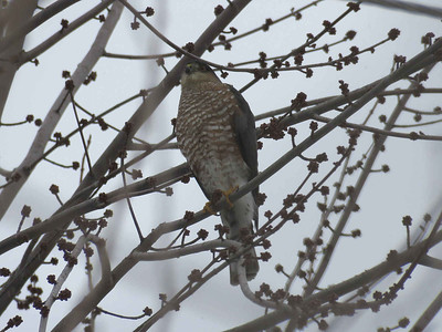 Sharp-shinned Hawk, February 4, 2018