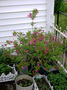 Weigela bush, May 19, 2004