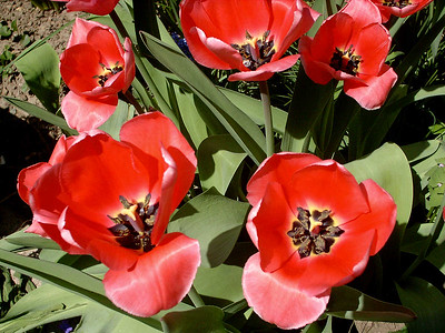 red tulips,  April 17, 2005