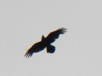 Common Raven, April 28, 2012