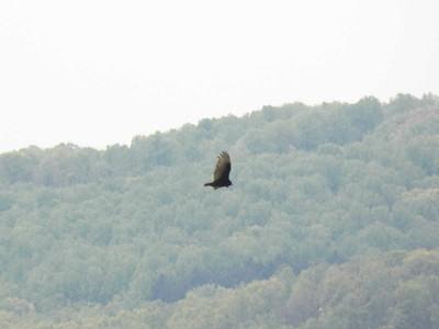 Turkey Vulture, April 28, 2012