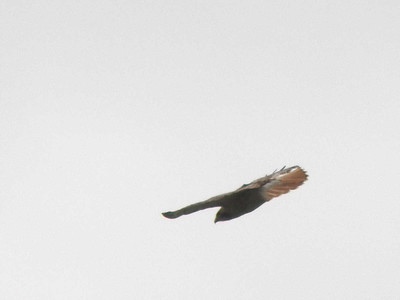 Red-tailed Hawk, April 28, 2012