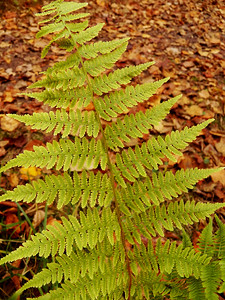 Hay-scented Fern, November 5, 2015