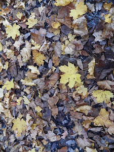 fallen maple leaves, November 5, 2015