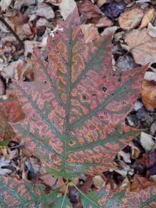 oak leaf, November 5, 2015