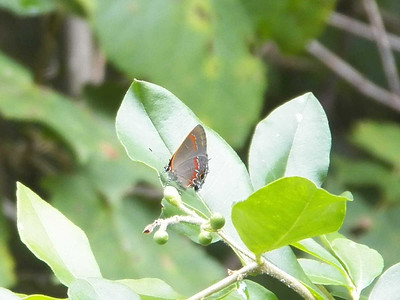 Red-banded Hairstreak, State Gamelands 52, July 28, 2013