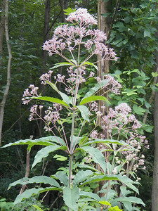 Joe-pye Weed, State Gamelands 52, July 28, 2013