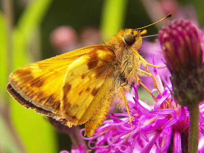 Zabulon Skipper,  State Gamelands 52, July 28, 2013