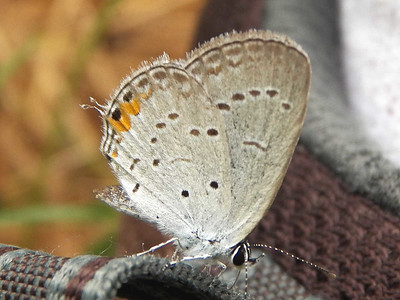 Eastern Tailed Blue, State Gamelands 52, July 28, 2013