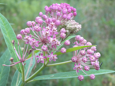 milkweed, State Gamelands 52, July 28, 2013