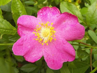 wild rose, State Gamelands 52, June 30, 2013