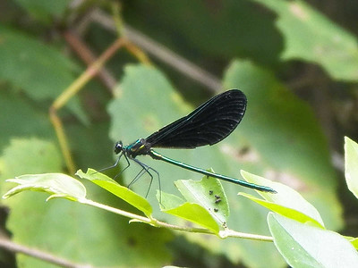 Ebony Jewelwing, State Gamelands 52, July 28, 2013