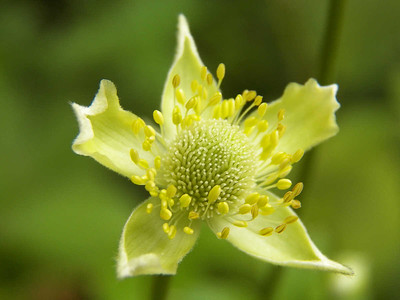 Thimbleweed, State Gamelands 52, July 28, 2013
