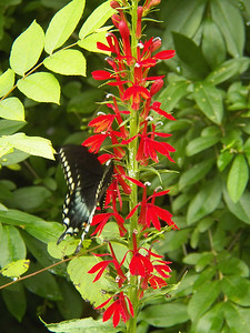 Eastern Tiger Swallowtail on Cardinal Flower, State Gamelands 52, July 28, 2013