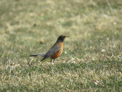 American Robin, March 19, 2018
