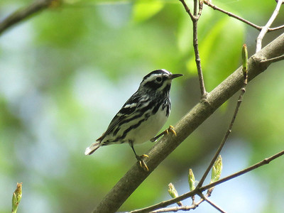 Black & White Warbler, May 4, 2017