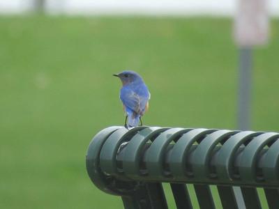 bluebird on bench