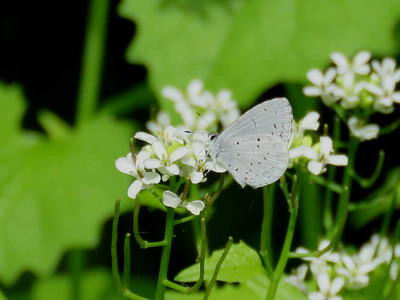 Spring Azure on Garlic Mustard flowers, May 4, 2017