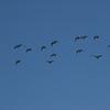 Greylag Goose [ Anser anser ]