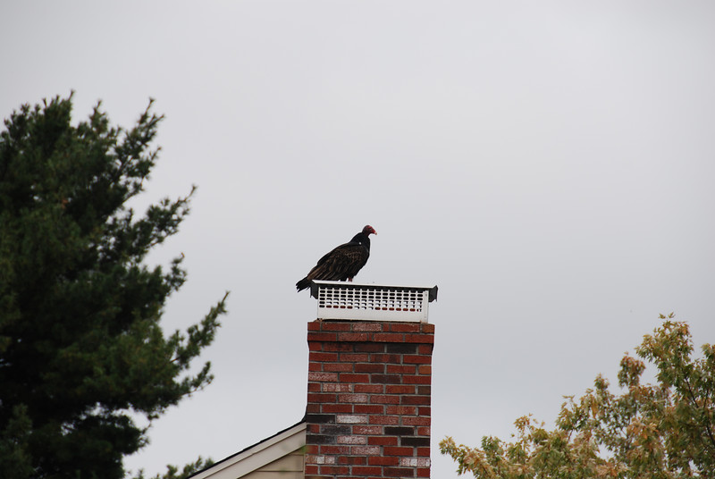 We saw some interesting birds even before we got to the Audubon Sanctuary! This on a chimney in Framingham.