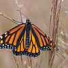 A recently emerged Monarch butterfly drying its wings.
