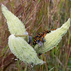 Milkweed seed pods being preyed upon by milkweed bugs and others.