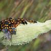 Milkweed bugs feeding on a milkweed seed pod.