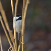 Black-capped chickadee. Illustrates selectivity capability of D7000 autofocus.