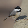 Black capped chickadee.
