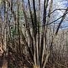 Multi-trunked (10 trunks) giant  bass wood tree.