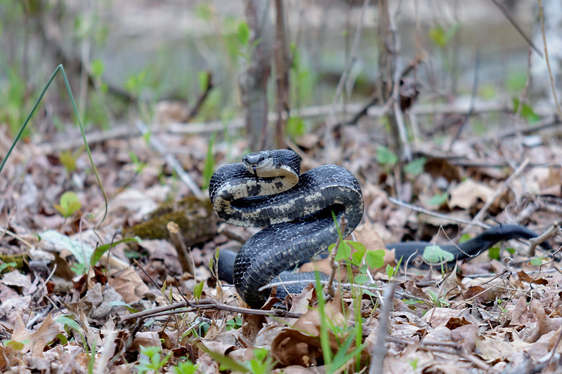 A very defensive Black Snake (not poisonous)  near upper Craig Creek.<br /> April 16, 2017.