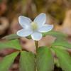 Wood anemone – Anemone quinquefolia